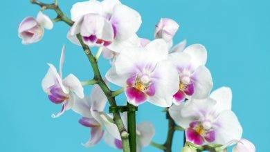Photo of Jak prawidłowo podlewać storczyki aby uzyskać ich piękne kwitnienie?